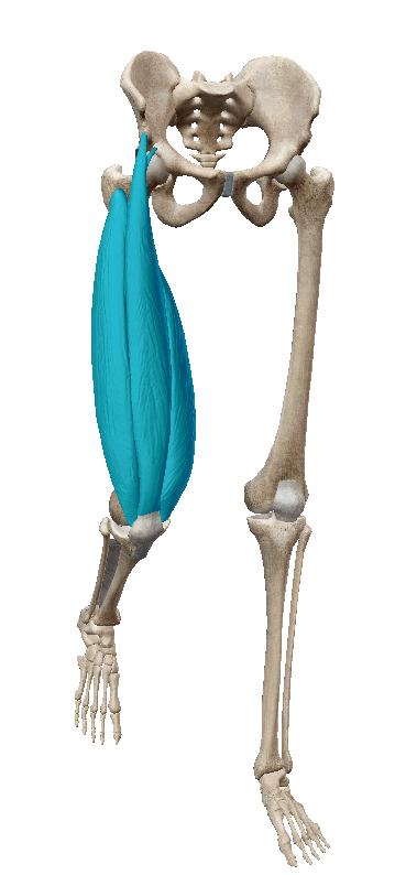 大腿四頭筋 画像